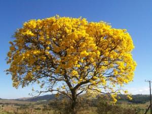florada do IPÊ-TABACO (Tabebuia vellosoi)