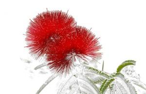 fotodia-calliandra-dysantha