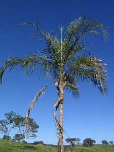 gueroba-Syagrus-oleracea