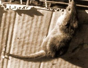 o-rato-do-presidente-3