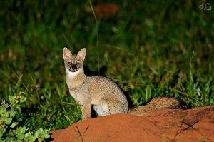 raposa do campo - cerrado goiano