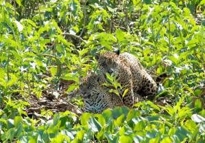 Foto: Divulgação/Douglas Trent/Projeto Bichos do Pantanal
