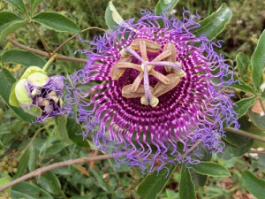 Maracujá do cerrado (Passiflora cincinnata) Passifloraceae -Henrique Neyffer