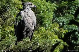 aguia cinzenta