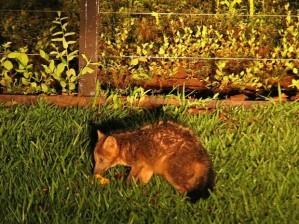 raposa rara em ro