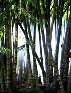 bambu_inteiro taquaruçu