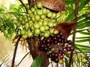 palmeira tucum
