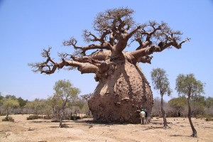 arvore baobá