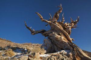 Bristocone pine