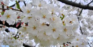 Prunus serrulata - (cerejeira-do-japão)