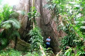 Samaumeira  (Ceiba Pentandra Gaertn).