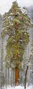 sequoia gigante