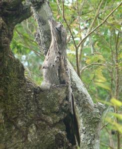 Urutau foto do  www.bioventura.com.br