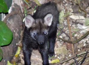 lobo guara preto Chrysocyon brachyurus