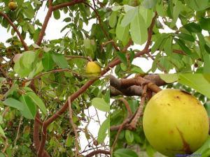 Mangaba (Hancornia speciosa)