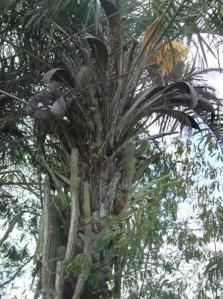 Ouricuri (Syagrus coronata)