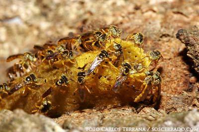 abelha-jatai-2