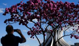 ipe roxo florindo em Brasilia